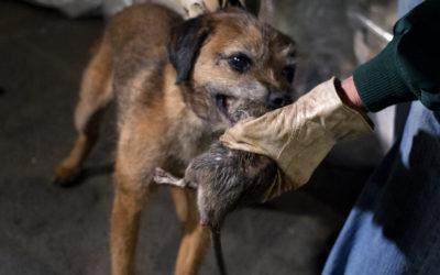 A New York si addestrano cani per cacciare i topi