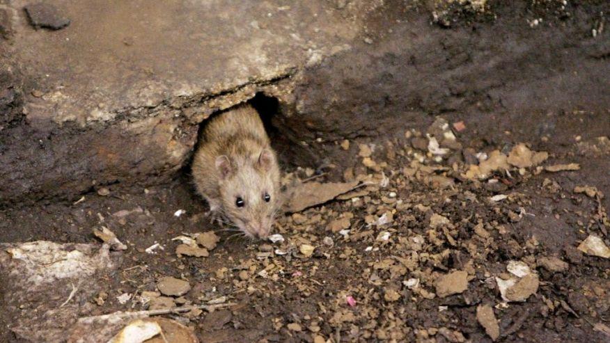 Menta piperita e altri accorgimenti per allontanare i topi