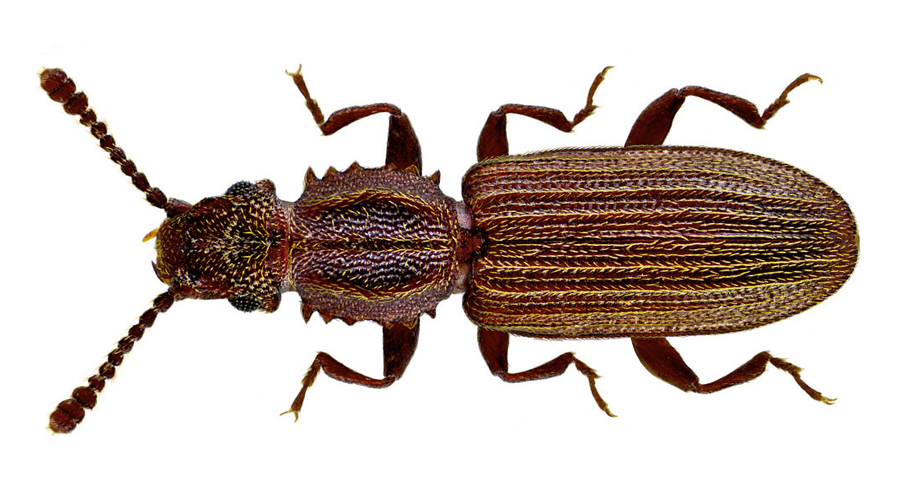 Oryzaephilus surinamensis coop gimar - Uova cimici da letto ...