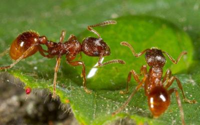 """""""L' ospedale delle formiche"""" – Le formiche aiutano le compagne ferite"""